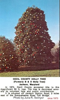 Holly tree picture